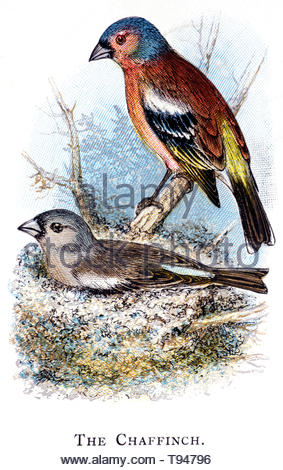 Common Chaffinch (Fringilla coelebs) at the nest, vintage illustration published in 1898 - Stock Photo