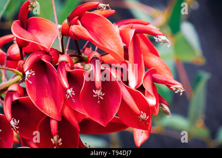Cockspur coral tree (Erythrina crista-galli) is a flowering tree in the family Fabaceae, native to South America; widely planted as a street or garden - Stock Photo