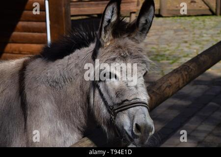Grey donkey in barn portrait closeup - Stock Photo