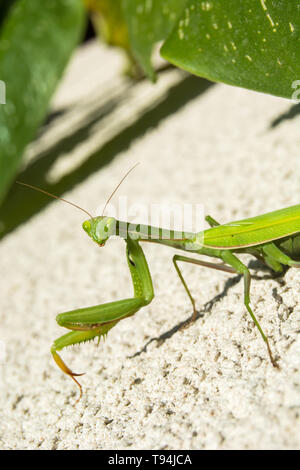 Close-up of a female green mantis on a summer sunny day - portrait - Stock Photo