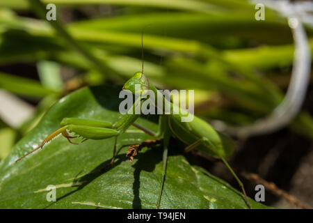 Looking at the lens, a female green mantis in the leaves - portrait - Stock Photo