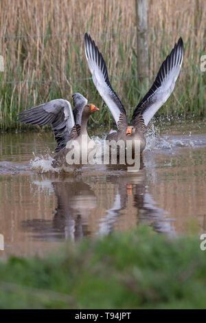 Greylag Goose (Anser anser) - Stock Photo