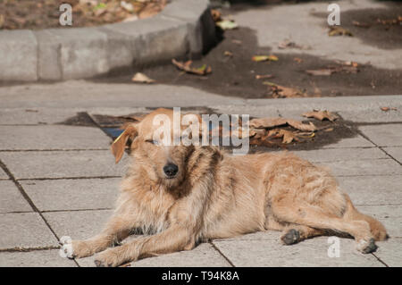 Stray dog lying on stone slabs sidewalk surface closeup in sunny summer day - Stock Photo