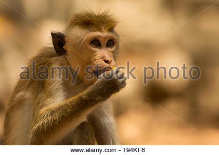 Toque Macaque eating outside of Sigiriya, Sri Lanka - Stock Photo