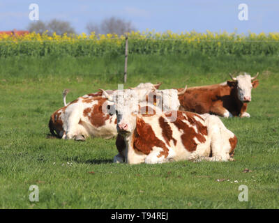 Herd of cows on beautiful rural animal farm grazing on green grass meadow. - Stock Photo