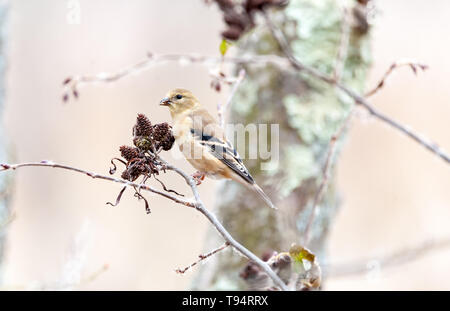 American Goldfinch in winter plumage. - Stock Photo