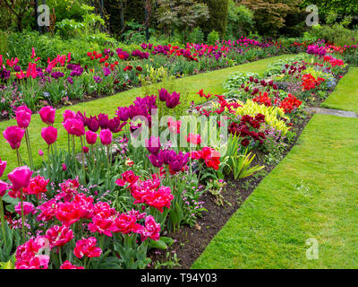 Chenies Manor House Sunken garden in May; vivid tulip varieties; landscape diagonal view with pink, red, purple tulips,fresh foliage, shrubs and lawn. - Stock Photo