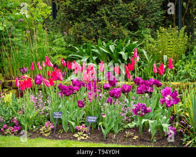 Chenies Manor House Sunken garden in May with vivid tulip varieties 'Negrita Double','Mariette' and 'Black Parrot'; shades of carmine, pink and purple - Stock Photo