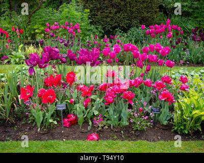 Chenies Manor House Sunken garden in May with vivid tulip varieties, 'Queen of Marvel', 'Fantasy', 'Ile de France', 'Merlot' and 'Barcelona'. - Stock Photo