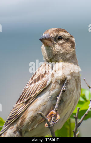 Rock Sparrow (Petronia petronia) perched on a green perch with soft background. Georgia - Stock Photo