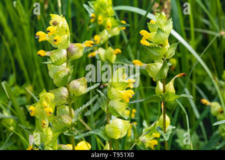Close up detail of a Group of Yellow Rattle flowers (Rhinanthus minor) growing in a quiet North Devon meadow. - Stock Photo