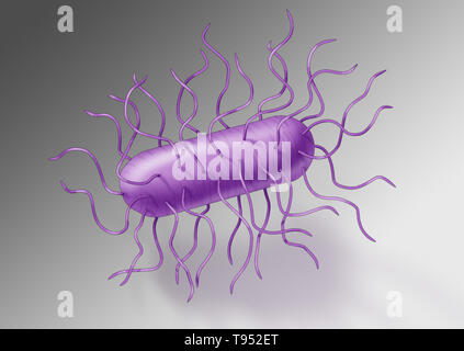 E. coli bacteria. Escherichia coli is a gram-negative, facultatively anaerobic, rod-shaped, coliform bacterium of the genus Escherichia that is commonly found in the lower intestine of warm-blooded organisms (endotherms). Most E. coli strains are harmless, but some serotypes can cause serious food poisoning in their hosts, and are occasionally responsible for product recalls due to food contamination. - Stock Photo