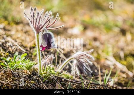 Fresh meadow anemone, also called small pasque flower with dark purple cup like flowers and hairy stalk growing in a gravelly meadow. Sunny day. - Stock Photo