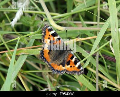 Small Tortoiseshell butterfly, Aglais urticae - Stock Photo