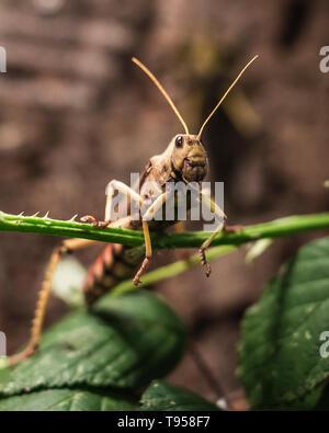 Locust portrait - Stock Photo
