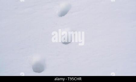 Panorama Close up of animal tracks on powdery white snow covering the ground - Stock Photo