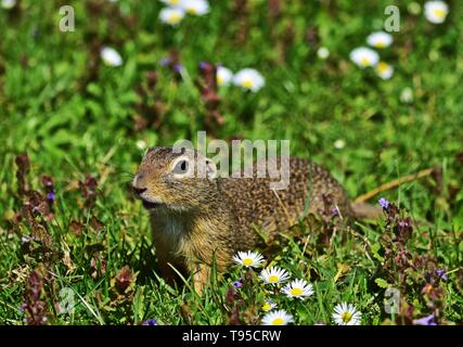 European ground squirrel - Spermophilus citellus - Stock Photo