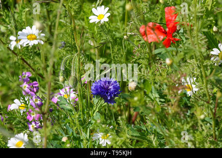 Victoria Park, Belfast, Northern Ireland. 16th May 2019. UK weather; breezy but warm in the sunshine in Victoria Park, Belfast. Blue cornflower and other wild flowers in the warm spring sunshine. Credit: David Hunter/Alamy Live News. - Stock Photo