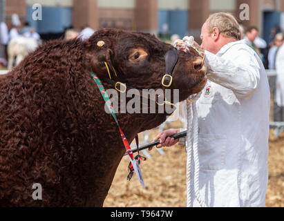Herdsman with cattle driving stick and Ruby Red Devon bull at the Devon County Show, 2019 - Stock Photo