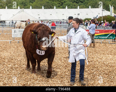 Herdswoman with the winning beast - Ruby Red Devon bull at the Devon County Show, 2019 - Stock Photo