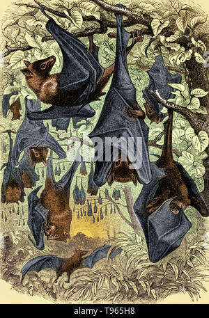 Bats of the genus Pteropus, belonging to the megabat suborder, Megachiroptera, are the largest bats in the world. They are commonly known as the fruit bats or flying foxes among other colloquial names. They live in the tropics and subtropics of Asia (including the Indian subcontinent), Australia, East Africa, and a number of remote oceanic islands in both the Indian and Pacific Oceans. At least 60 extant species are in this genus. - Stock Photo