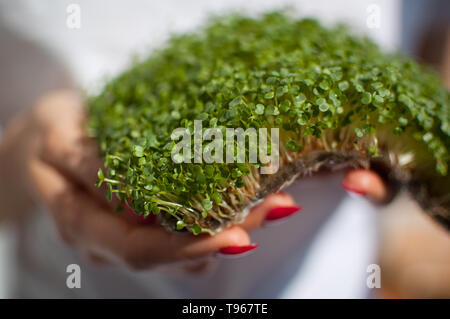 Female model is holding a piece of raw sprouted microgreens on her white shirt background. Face is not visible, woman with a fresh sprouts of arugula - Stock Photo