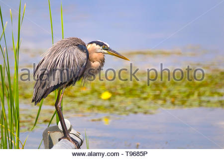 Great Blue Heron drying off in the sunlight in Florida - Stock Photo