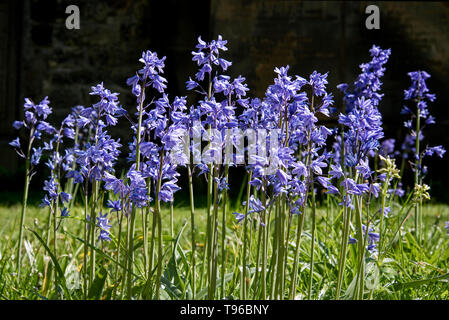 Spanish Bluebells(hyacinthoides hispanica)  in an Edinburgh churchyard. - Stock Photo