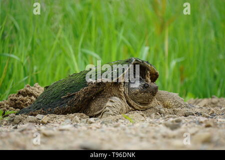 Snapping Turtle (Chelydra Serpentina) laying eggs in a gravel road by a swamp, St. Joseph Québec, Canada - Stock Photo