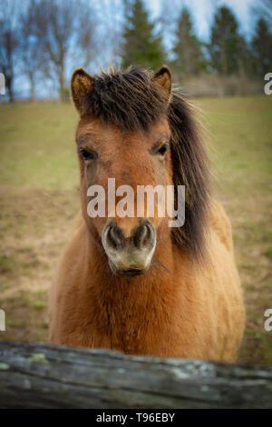 An alert Icelandic horse mare - Stock Photo