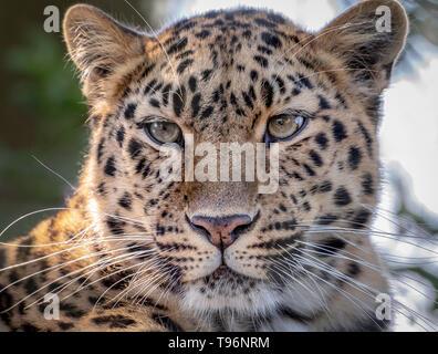 Female Amur leopard looking towards camera - Stock Photo