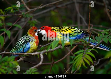 Eastern rosella (Platycercus eximius), male billing with female, captive, Germany - Stock Photo