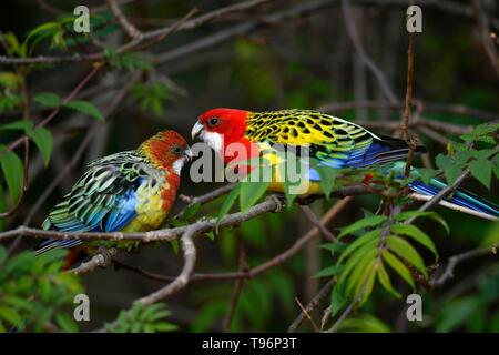 Eastern rosella (Platycercus eximius), animal pair sitting on branch, captive, Germany - Stock Photo