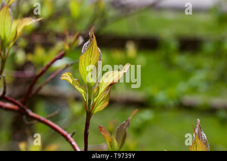 Macro abstract view of colorful new emerging leaves on a red twig dogwood bush - Stock Photo