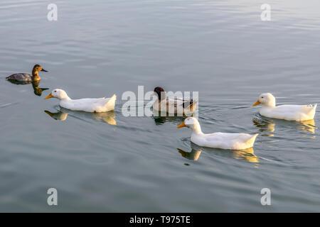 White Ducks - A group of white American Pekin ducks swimming on a lake in an evening of January. Veterans Oasis Lake, Chandler, Arizona, USA. - Stock Photo
