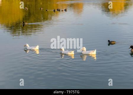 White Ducks On Sunset Lake - A group of white American Pekin ducks swimming on a sunset autumn lake. Veterans Oasis Lake, Chandler, Arizona, USA. - Stock Photo
