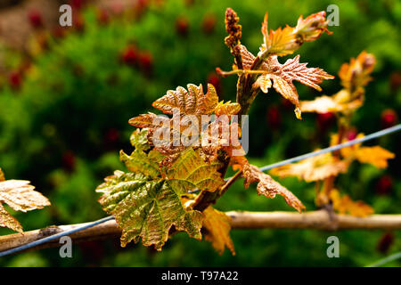 close up of grape vine leaf  first leaves grow on vines in spring - Stock Photo