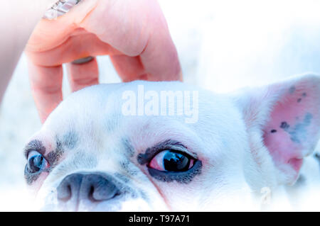 A French Bulldog being petted while the dog looks directly at the camera. - Stock Photo