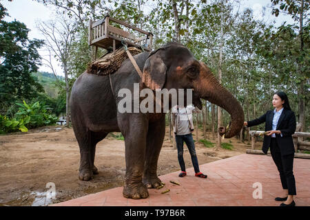 Laos. Luang Prabang - 15 January 2019: Visitors feeding the elephant. Chinese tourist woman giving the elephant's trunk the banana. - Stock Photo
