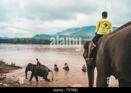 Laos. Luang Prabang - 15 January 2019: Man on top of an elephant in the Mekong river to wash the mammal - Stock Photo