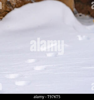 Clear Square Nature scenery with a close up of animal tracks on powdery snow in winter - Stock Photo