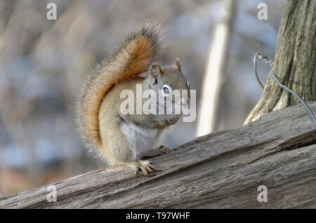An American Red Squirrel (Tamiasciurus hudsonicus) sitting on a rail fence - Stock Photo