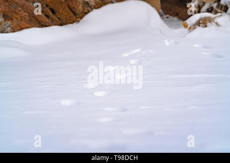 Nature scenery with a close up of animal tracks on powdery snow in winter - Stock Photo