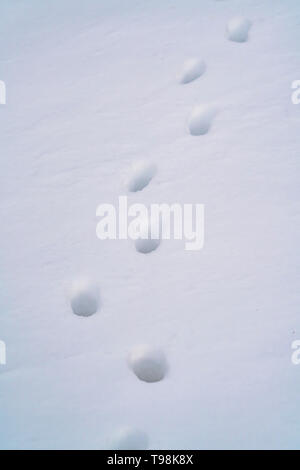 Close up of animal tracks on powdery white snow covering the ground - Stock Photo