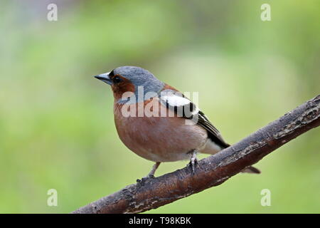 Finch sitting on a branch in a park. Beautiful chaffinch on green nature background, concept of summer season, songbird in sunny weather - Stock Photo