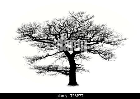 Oak tree silhouette isolated on white background with a beautiful curved branches - Stock Photo