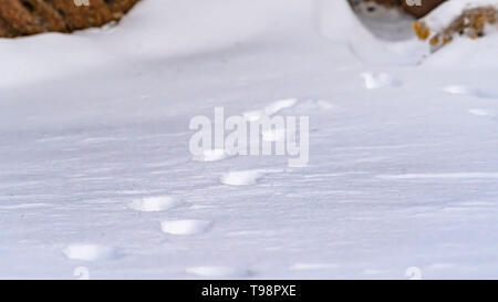 Clear Panorama Nature scenery with a close up of animal tracks on powdery snow in winter - Stock Photo