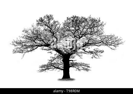 Oak tree silhouette isolated on white background with a beautiful curved branches that looks like a lungs - Stock Photo