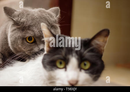 Gray British shorthair cat with yellow eyes and black white domestic cat - Stock Photo