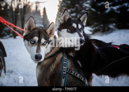 Husky sled dog tour, Thuringian Forest, Germany